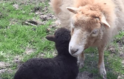 Auf diesem Bild sieht man ein Mutterschaf mit seinem jungen. Das Mutterschaf ist beige/weiß und das Schafsjunge ist schwarz. Beide stehen auf einer Grünfläche und reiben die Köpfe aneinander.